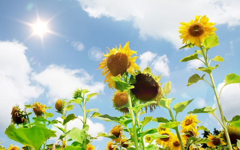 nature flowers plants sunflowers wallpaper