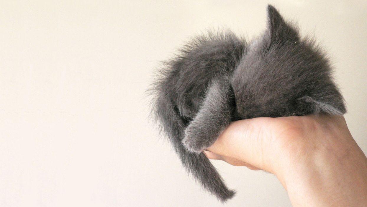 white cats palm animals hands grey sleeping kittens wallpaper