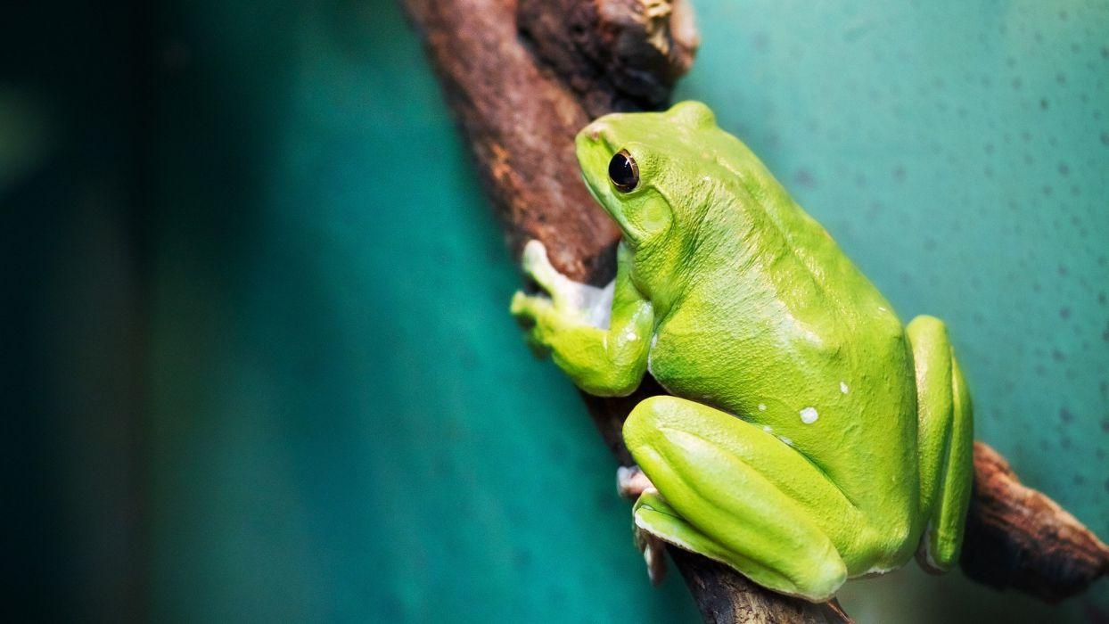 green women close-up frogs amphibians wallpaper