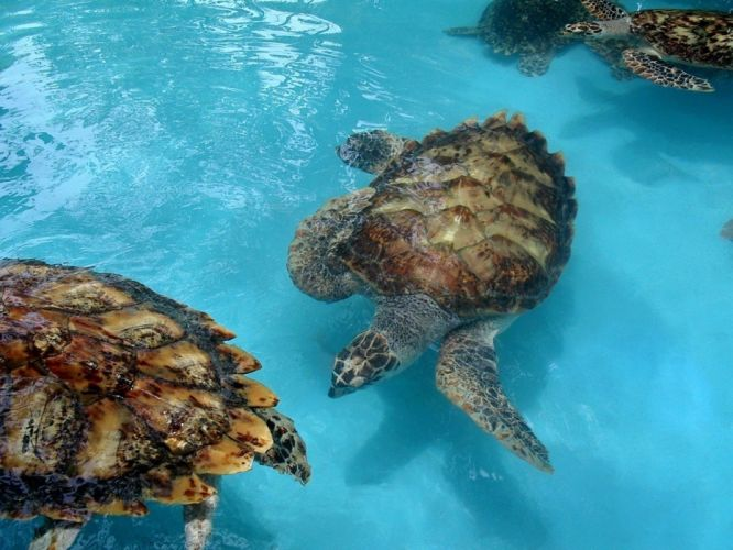 animals turtles wallpaper