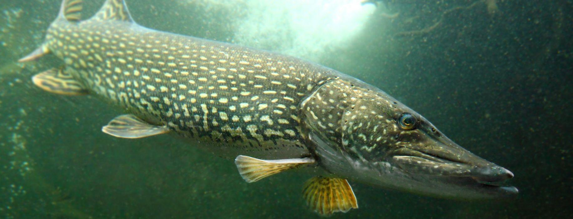 FISHING fish sport water fishes pike underwater wallpaper