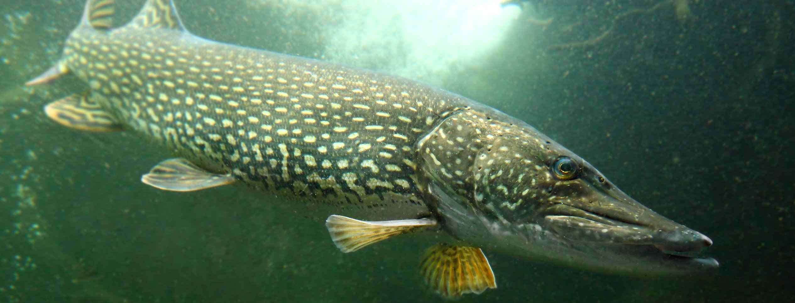 Pike definition what is for Pictures of pike fish