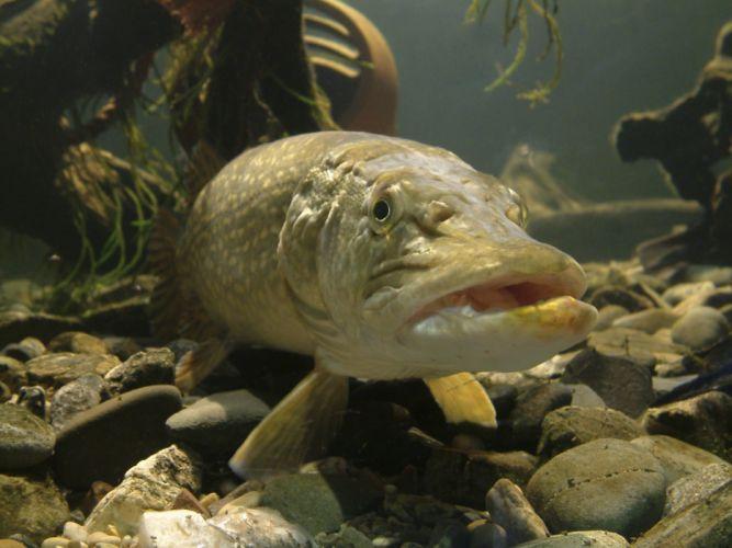 FISHING fish sport water fishes underwater pike predator wallpaper