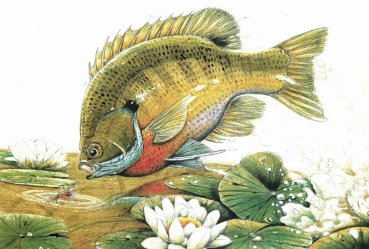FISHING fish sport water fishes bluegill artwork painting underwater wallpaper