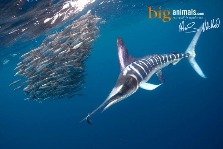 FISHING fish sport water fishes marlin underwater sea ocean wallpaper