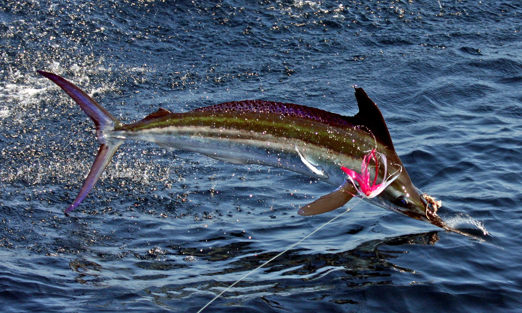 Fishing Fish Sport Water Fishes Marlin Ocean Sea Battle