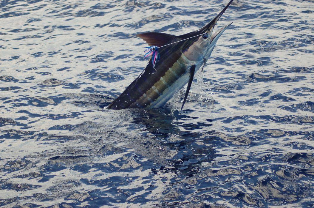 FISHING fish sport fishes bass battle ocean sea marlin wallpaper