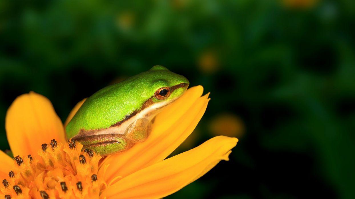 frogs dwarfs yellow flowers amphibians tree frogs wallpaper