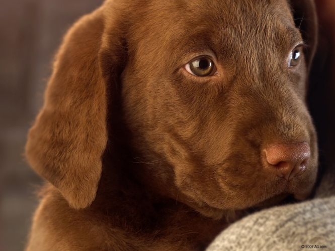 animals dogs brown brown eyes puppies pets wallpaper