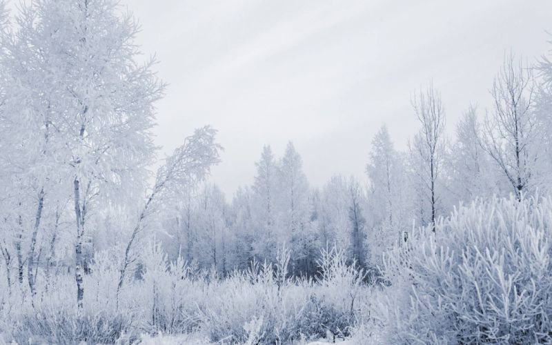 winter snow trees forests wallpaper