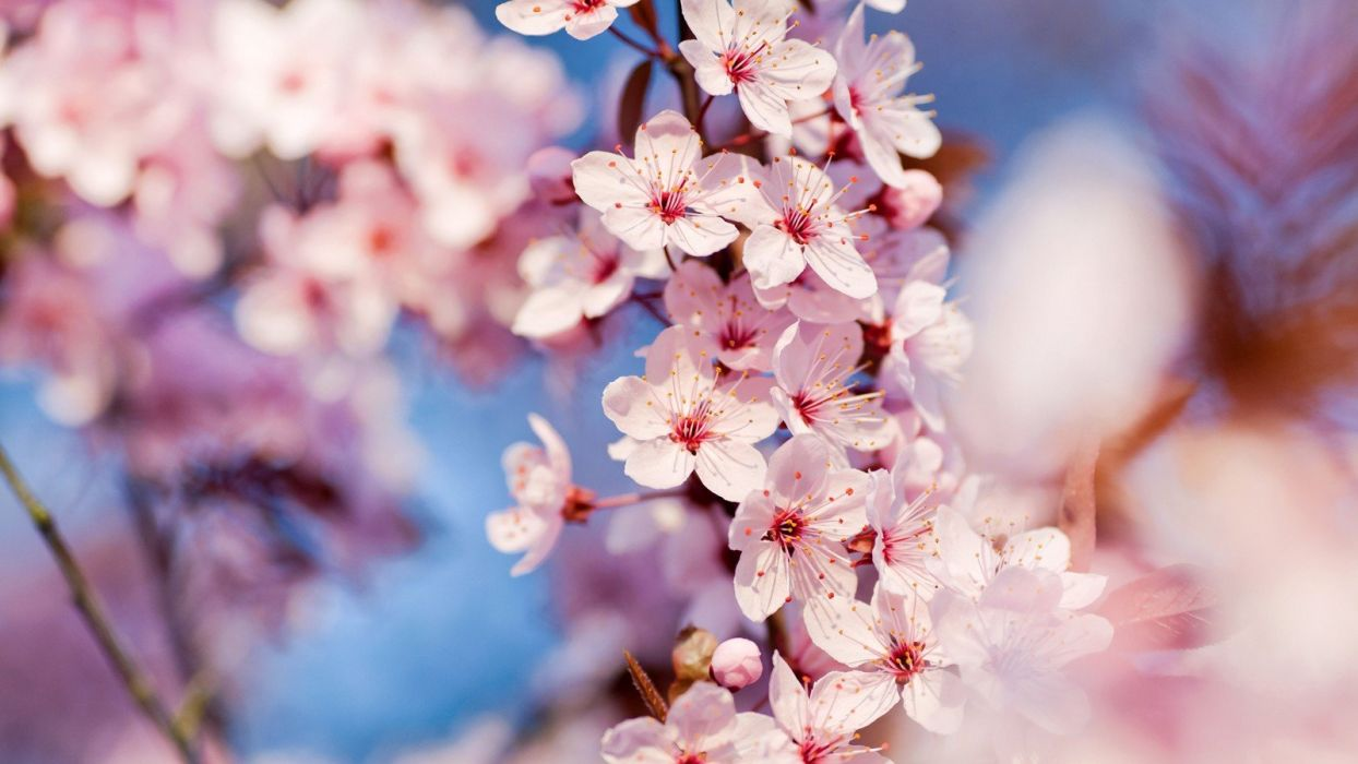 cherry blossoms flowers pink flowers wallpaper