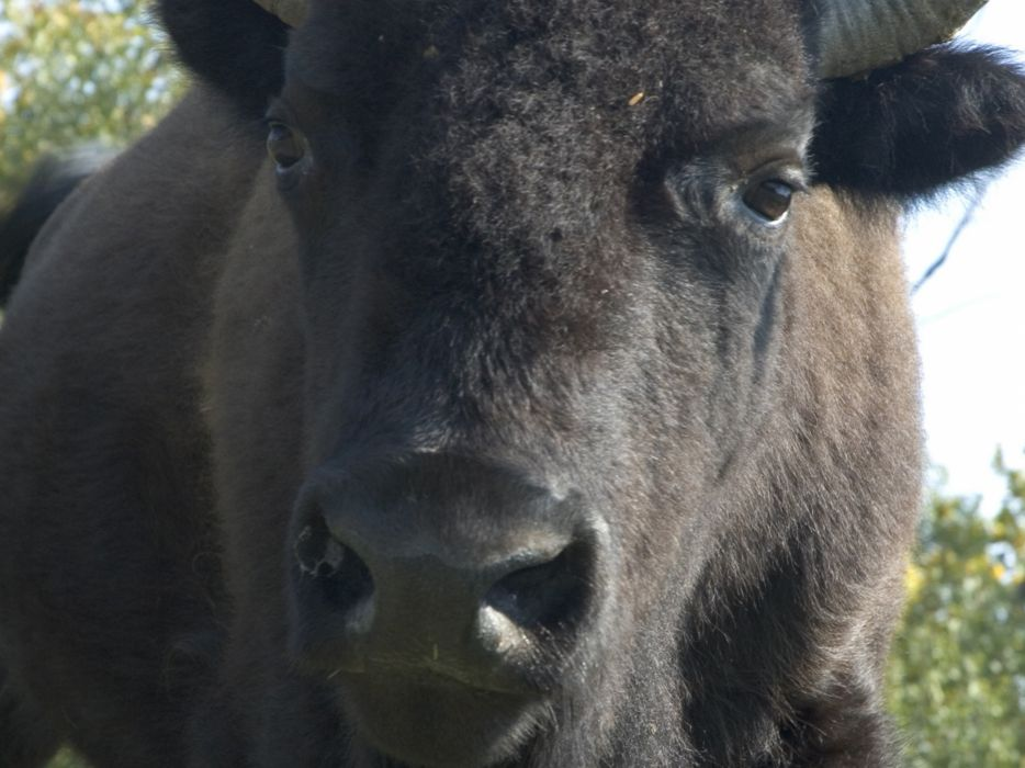 nature animals bison wallpaper