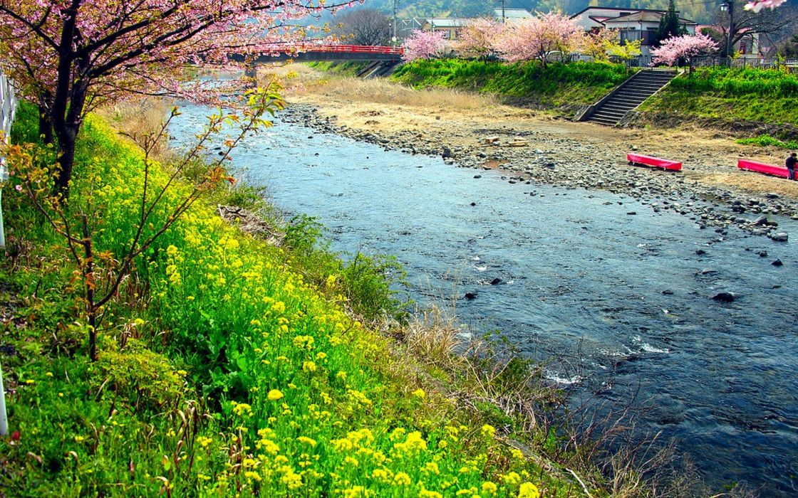 Japan cherry blossoms flowers spring rivers flowered trees wildflowers wallpaper