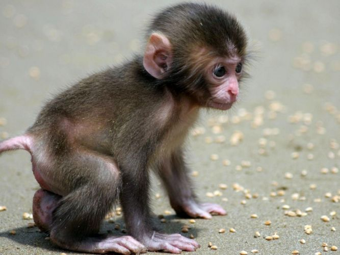nature monkeys baby animals wallpaper
