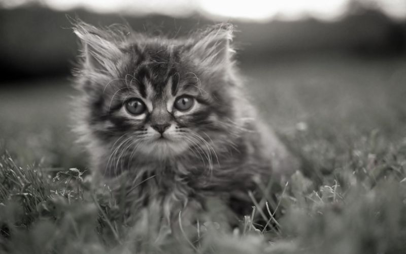 black and white cats animals kittens wallpaper
