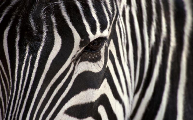 close-up animals zebras wallpaper