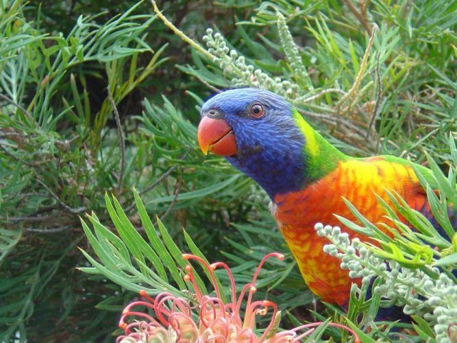birds parrots rainbow lorikeet wallpaper