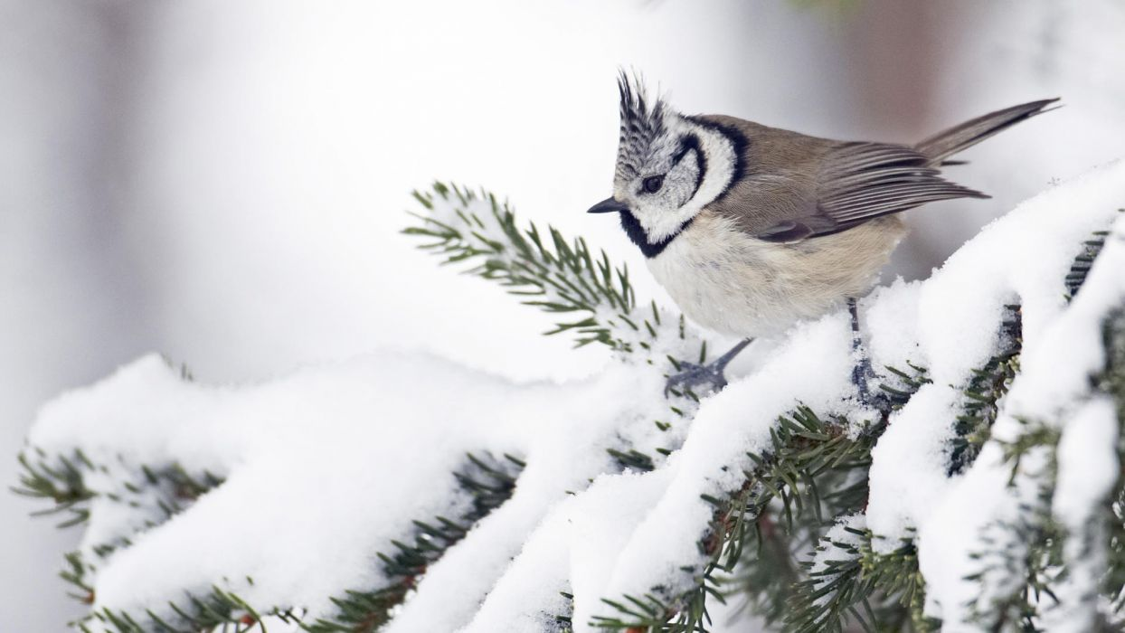 winter snow white birds willow Finland wallpaper