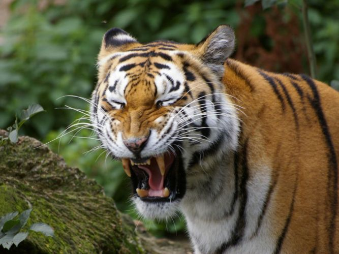 nature animals tigers yawns wallpaper