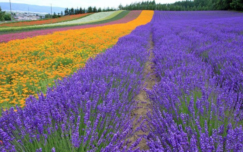 landscapes nature flowers lavender plantation wallpaper
