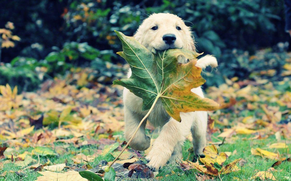 autumn animals leaves grass dogs puppies adventure golden retriever fallen leaves wallpaper