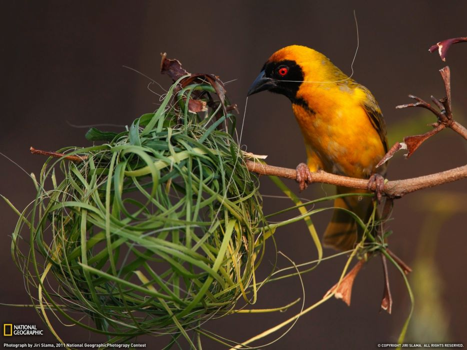 nature birds National Geographic nest weaver birds wallpaper