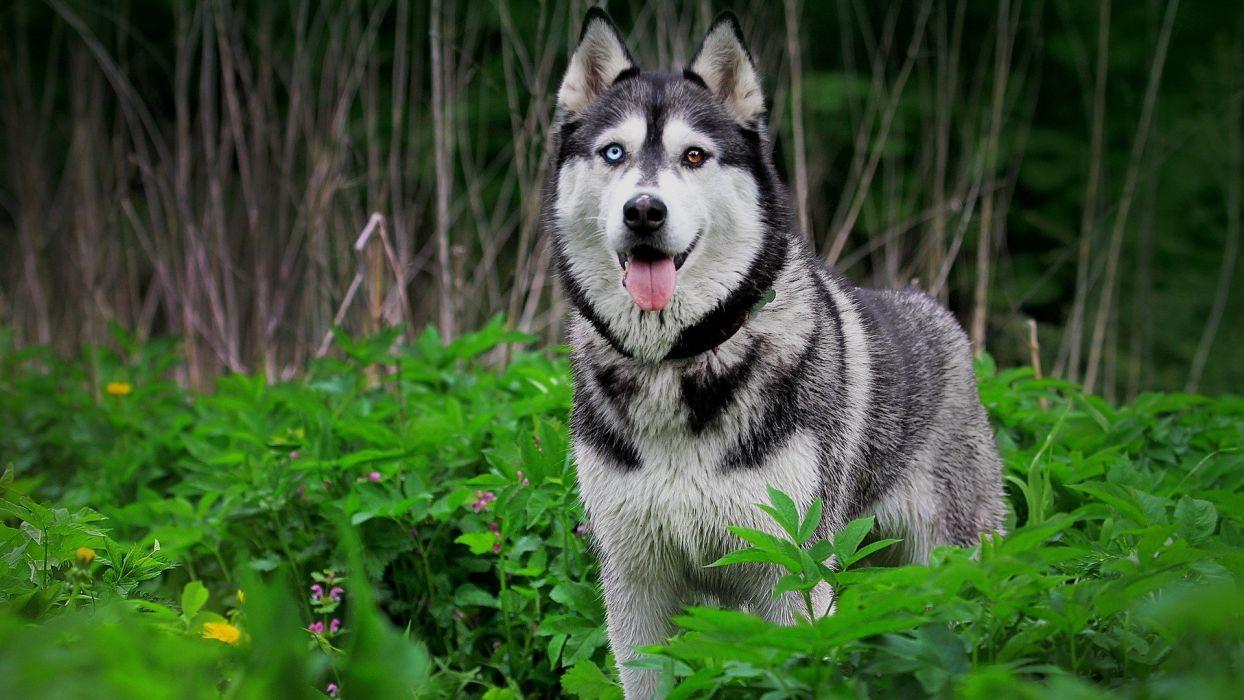 animals grass dogs husky Siberian husky