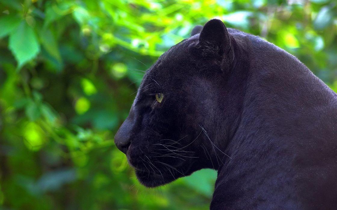 animals Jaguar panthers wallpaper
