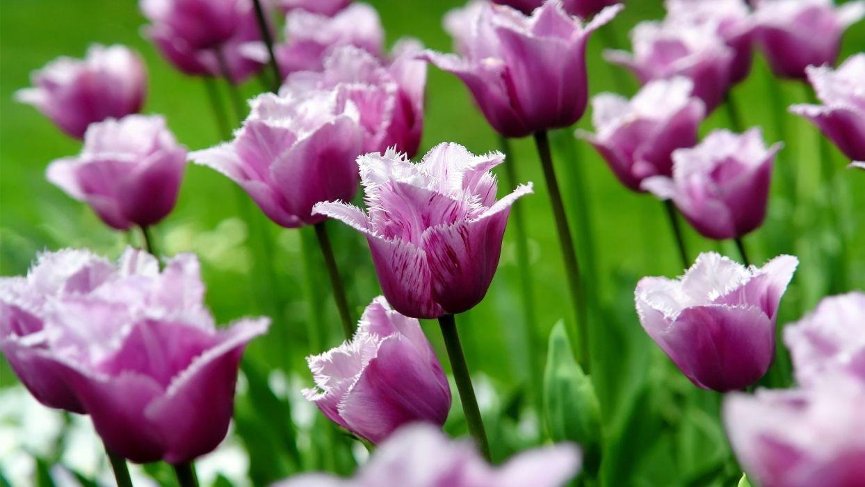 flowers tulips purple flowers wallpaper