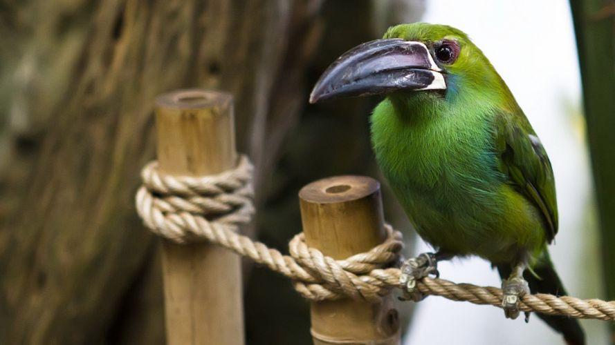 nature birds ropes toucans wallpaper