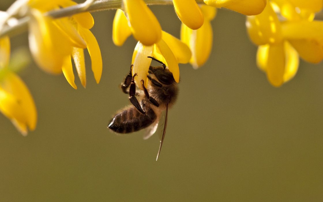 insects bees wallpaper