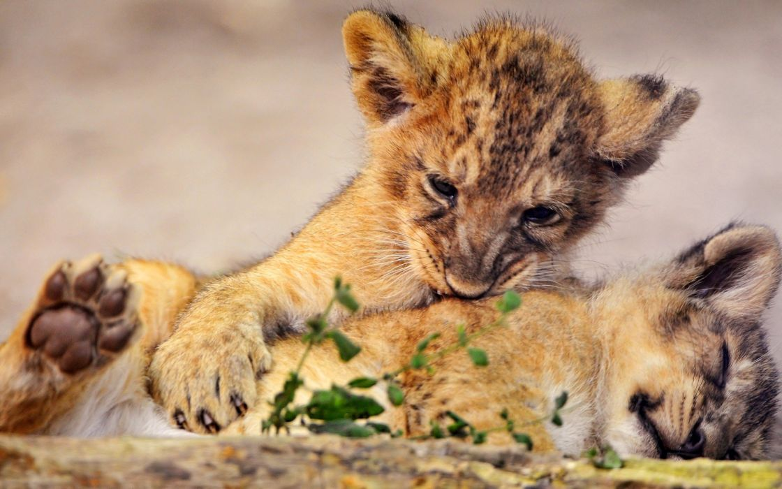 animals lions club Cuddles wallpaper