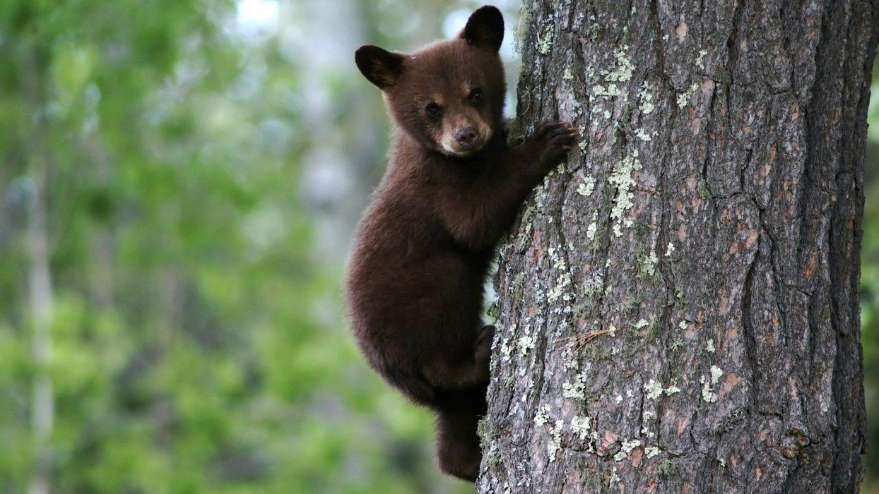 trees animals bears tree trunk wallpaper