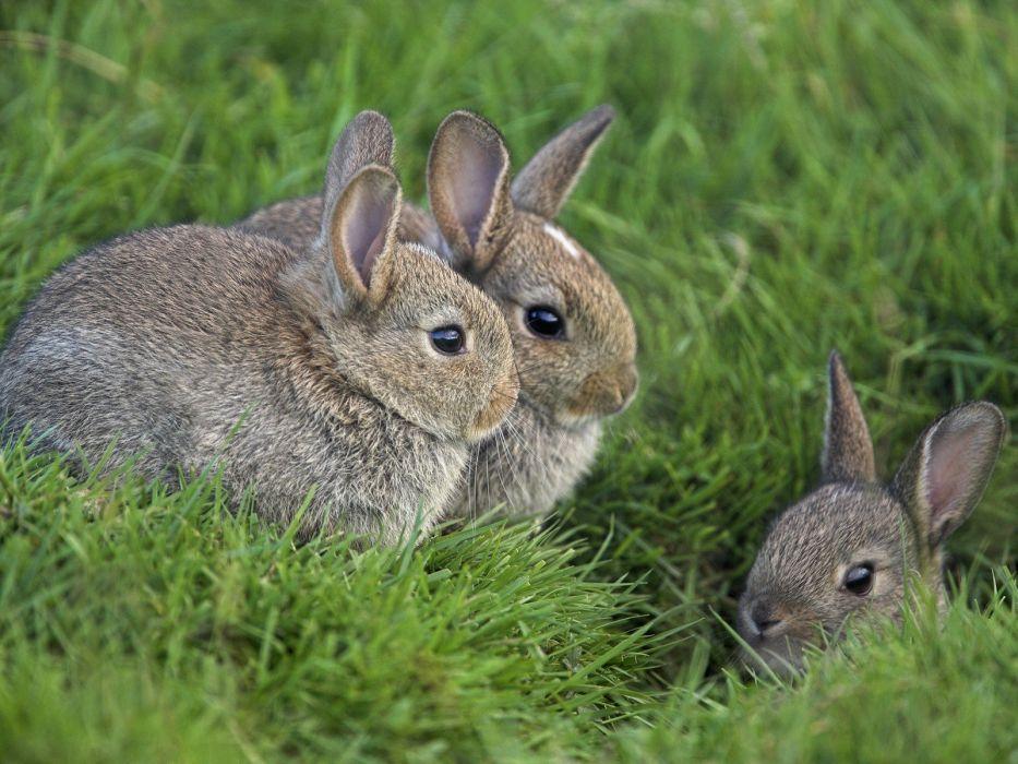 bunnies animals baby animals Young rabbits wallpaper