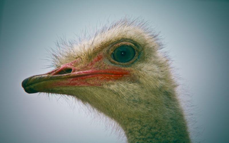 birds ostrich wallpaper