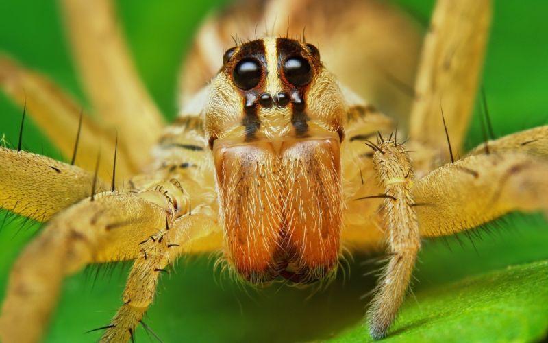 macro spiders arachnids wallpaper