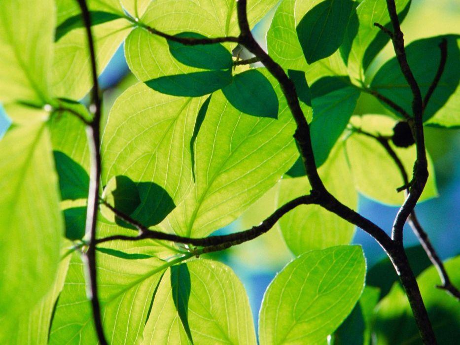 leaves Longhorn windows  wallpaper