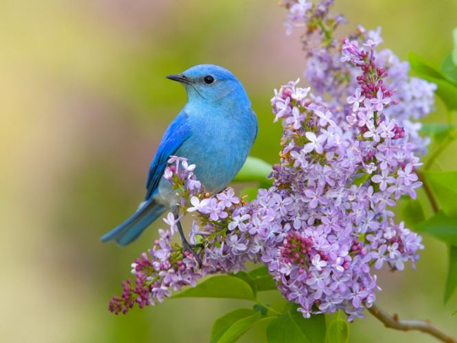 flowers birds lilac bluebirds wallpaper