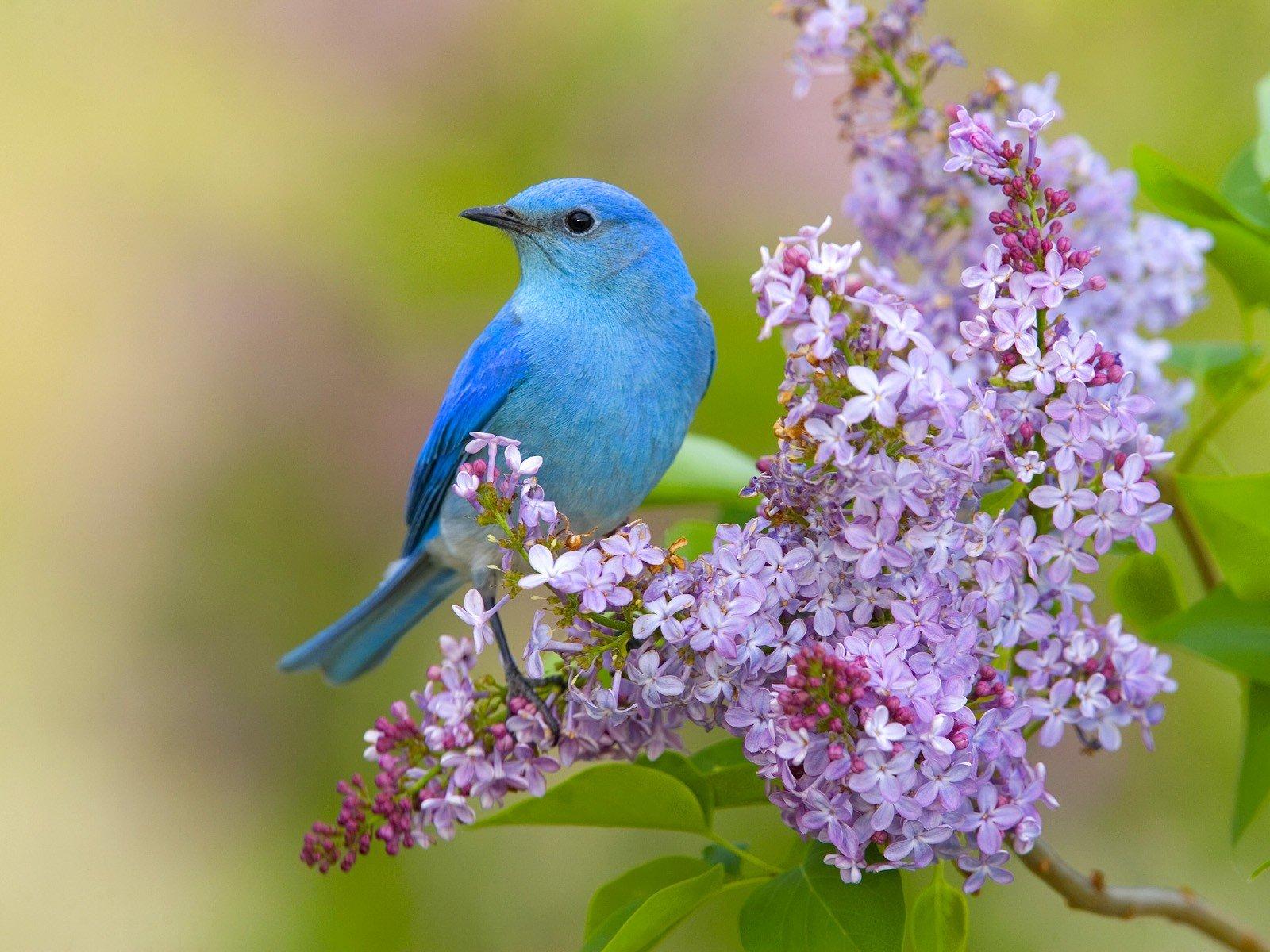 flowers birds lilac bluebirds wallpaper   1600x1200   328072