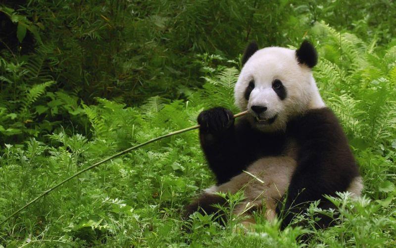 jungle China bamboo panda bears dinner wallpaper