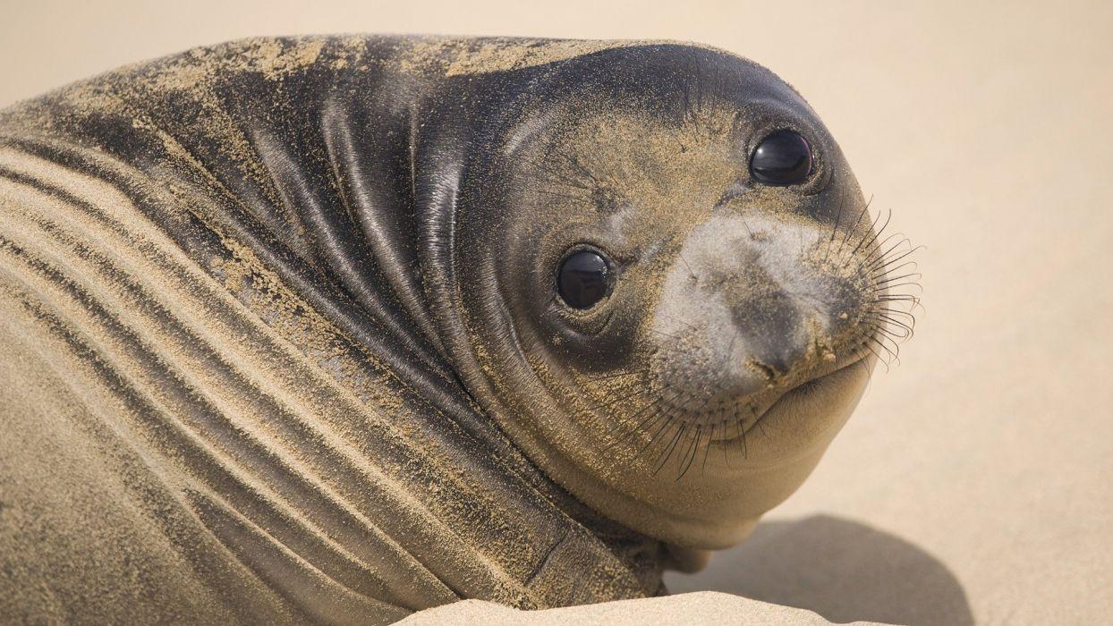 seals animals California wallpaper