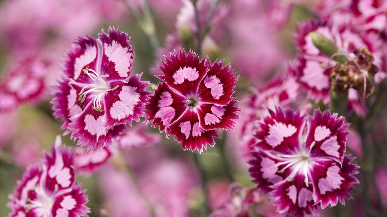 nature flowers Sweet William wallpaper
