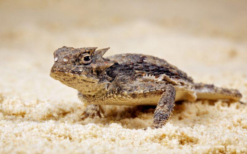 sand reptiles wallpaper