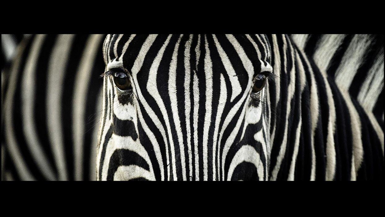 animals zebras South Africa stripes wallpaper