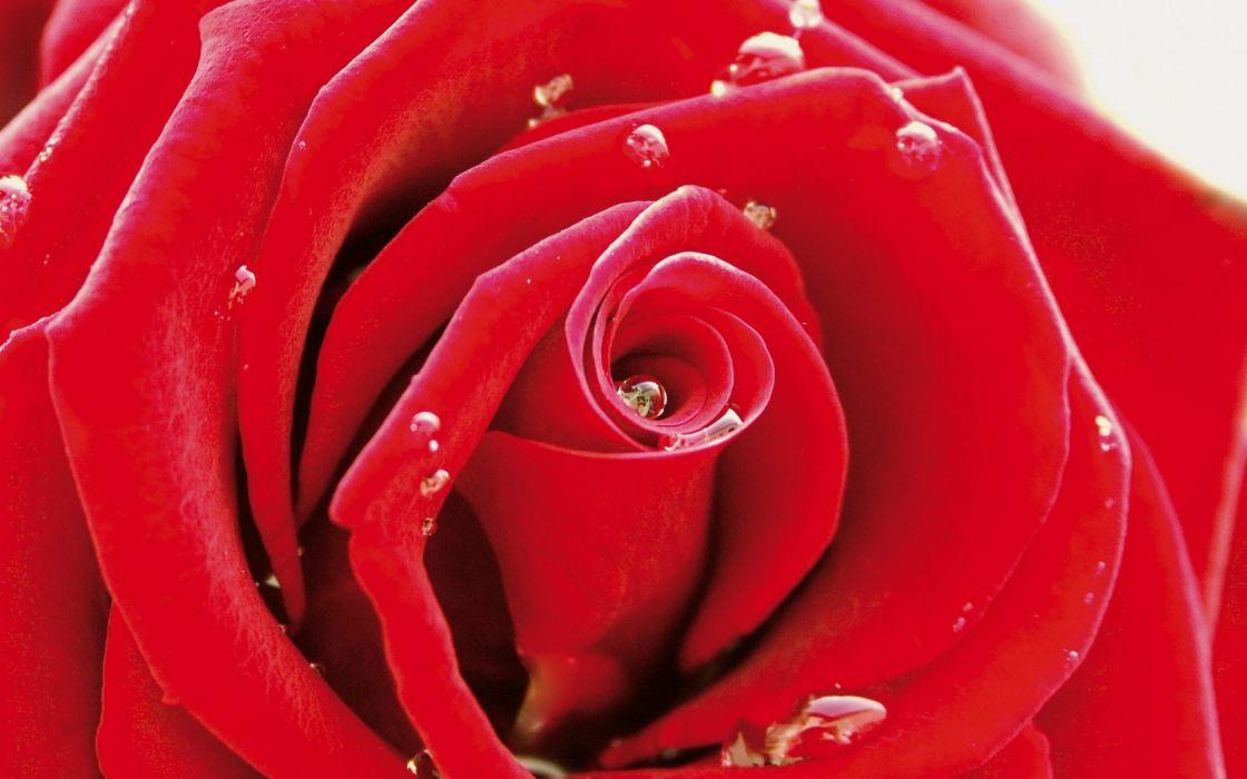 Red Rose Flower Water Drops Macro HD Desktop Wallpaper for