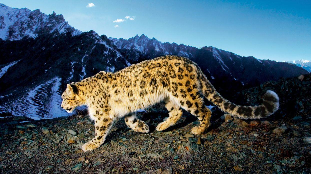 prowling snow leopard-HD wallpaper