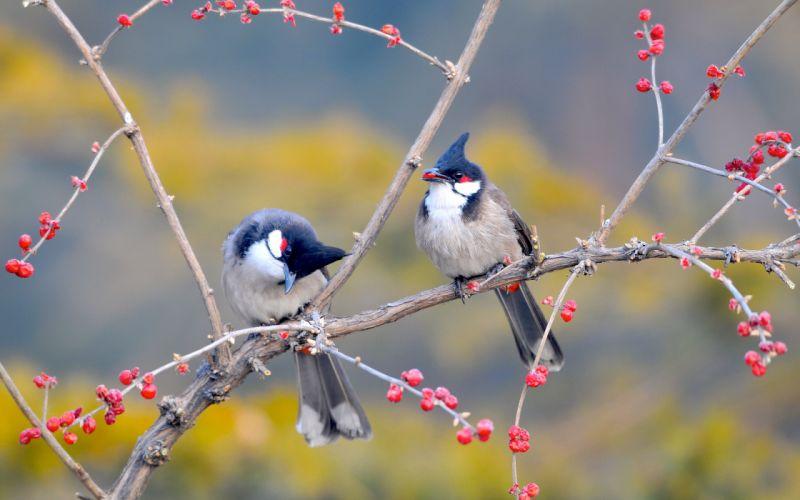 red whiskered bulbul birds-wide wallpaper