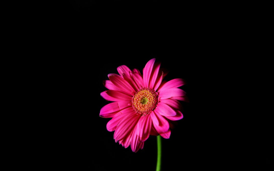 Flowers Pink Daisy Black Background Wallpaper