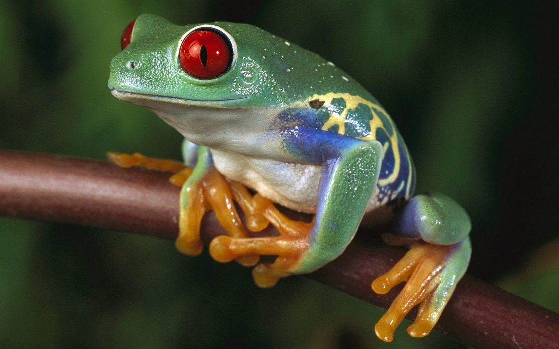 green women trees animals red eyes frogs Red-Eyed Tree Frog amphibians tree frogs wallpaper