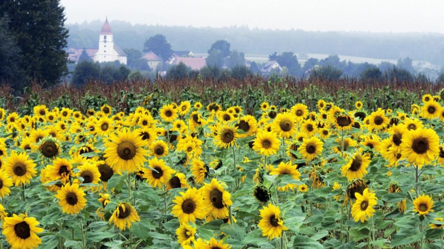 Germany Bavaria sunflowers wallpaper